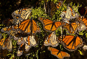 Monarch Butterfly Tours  []  Follow Me Tours